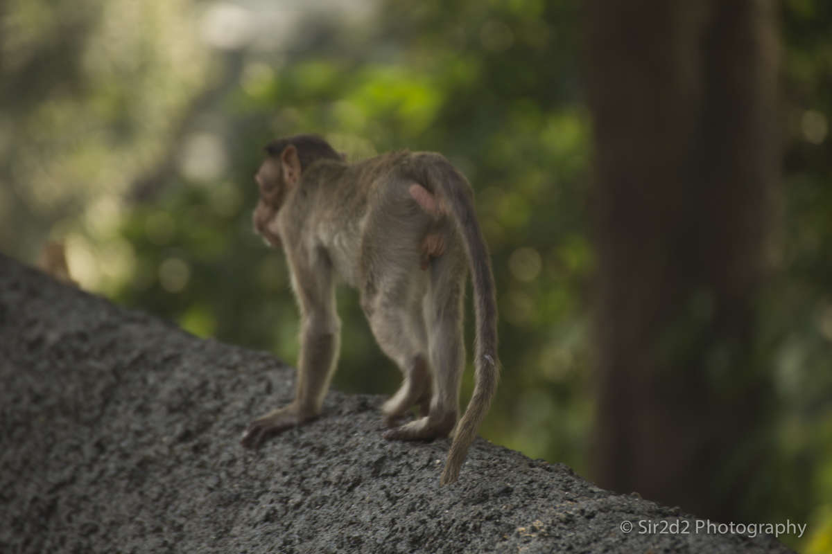 Kanheri Caves - Monkey